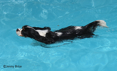 A Tricolour Cavalier swimming