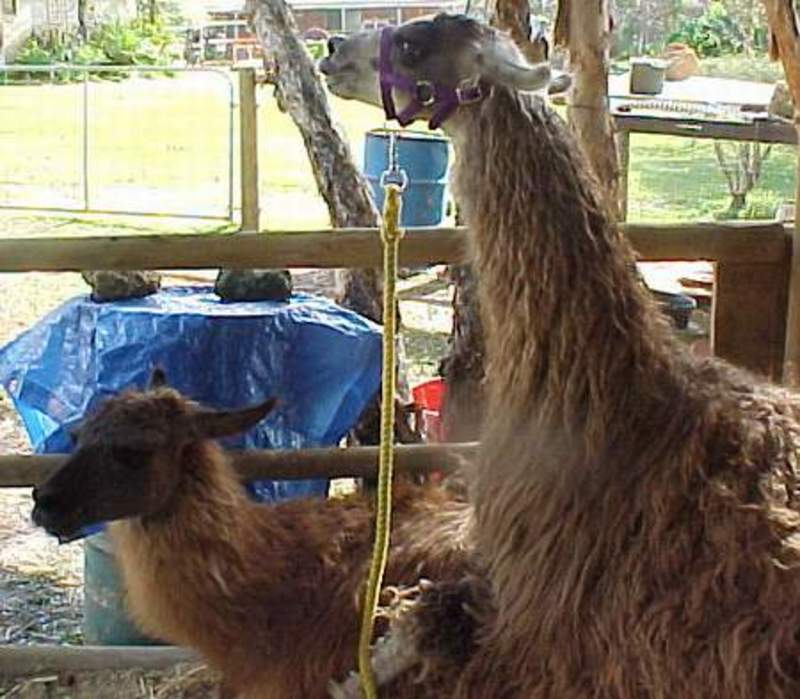 the,beginning  - How to Breed Llamas