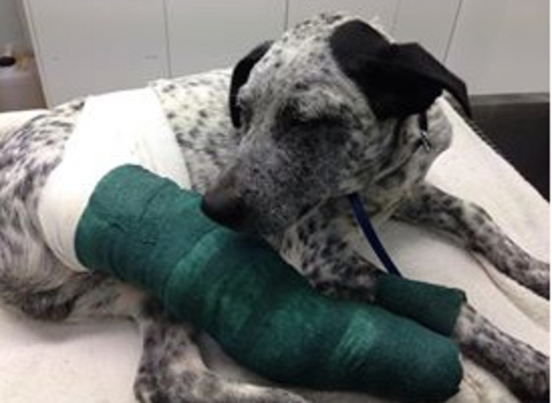 Ash with his leg in a cast  - Peninsula Animal Aid (PAA), Dogs, Cats, Volunteering and Special Care Animals