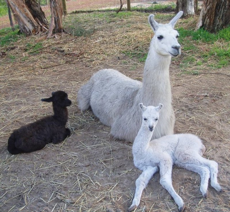 baby,llamas,cria