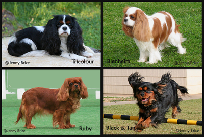 Cavalier King Charles Spaniels come in four beautiful colours