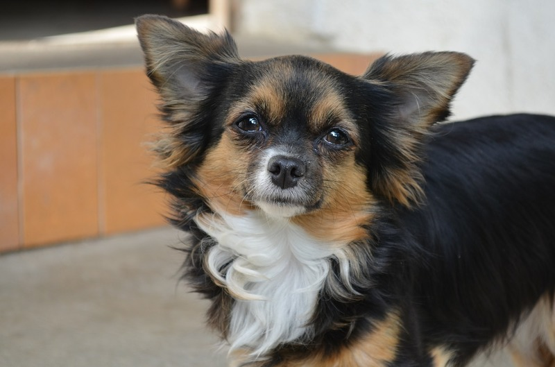 Chihuahua  - Love Is A Long Haired Chihuahua