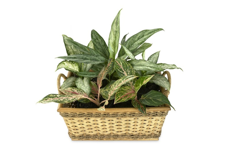 Dieffenbachia in basket