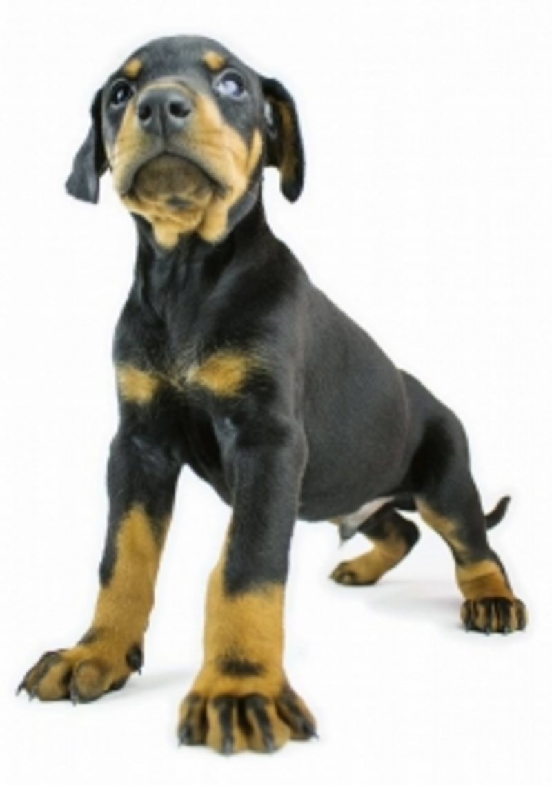 doberman puppy  - Tips For House Training Your Puppy