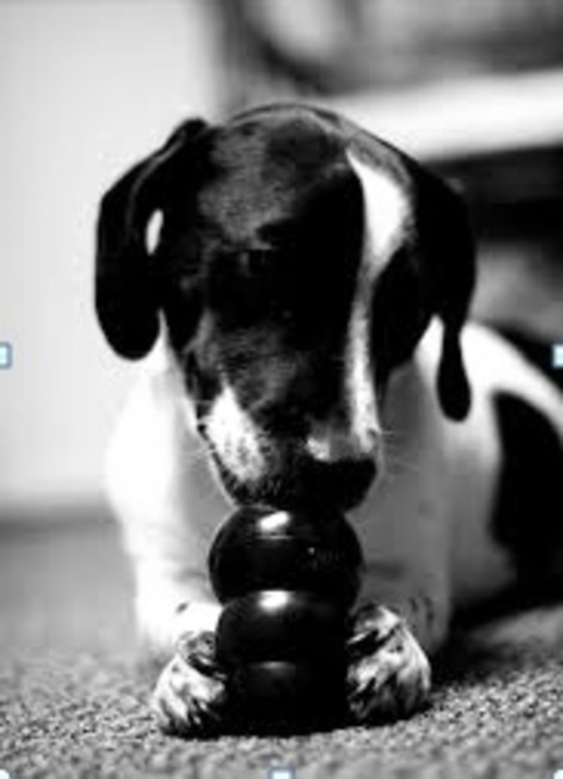 Dog with Kong toy  - Anxiety In Dogs
