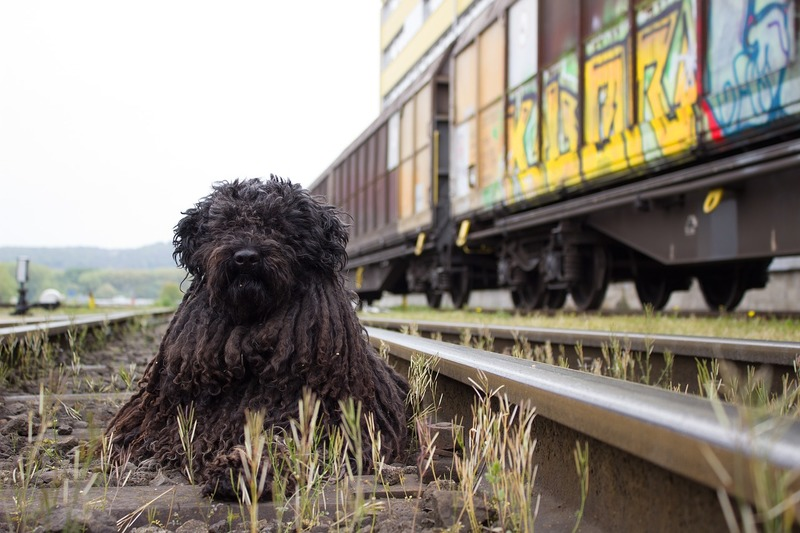 Dog by train track