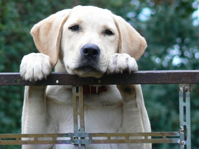 Dog looking over fence