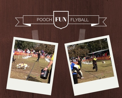 Dogs competing in flyball