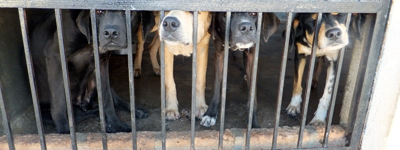 Dogs at the pound  - Reasons to Get your Dog Desexed