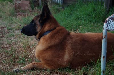 Dud - Belgian Malinois (Property of Leo Snow)
