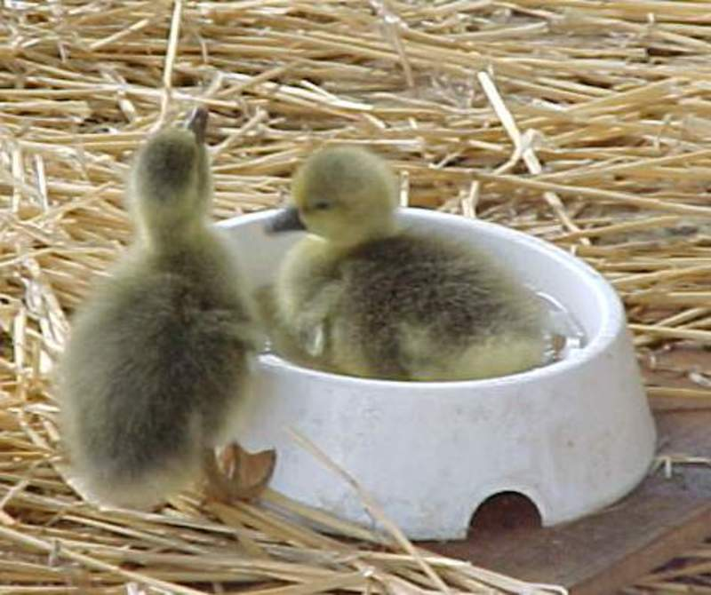 gosling  - Raising, Interacting and Observations with Geese