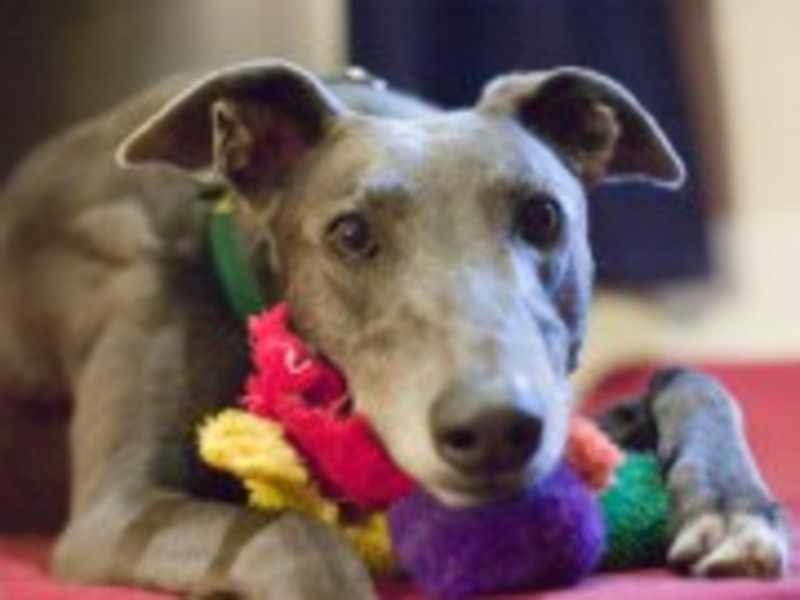 Alfie, Greyhound, Adoption, GAP