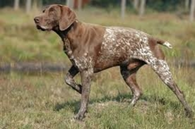 gsp  - A thought for those who have lost, or will have to euthanase a dog