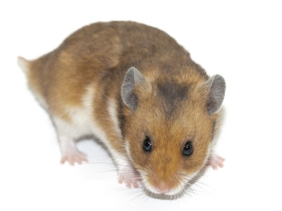 Why you can't buy hamsters in Australia