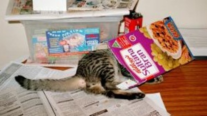 Kitten in cereal box
