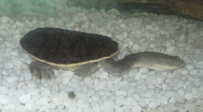 Eastern Long-neck Turtle