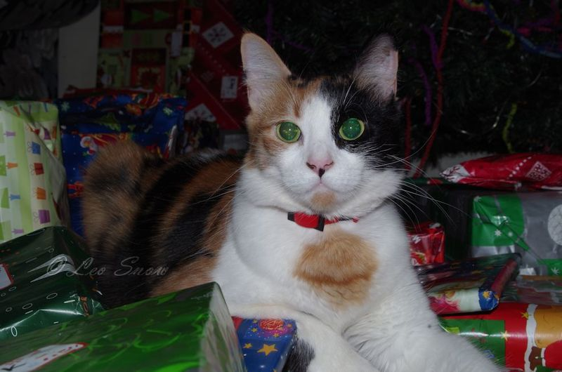 Patches - Domestic Shorthair (Property of Leo Snow)  - When to call the vet: some general advice