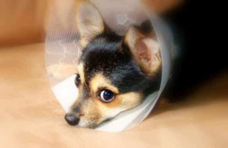 pet surgery 