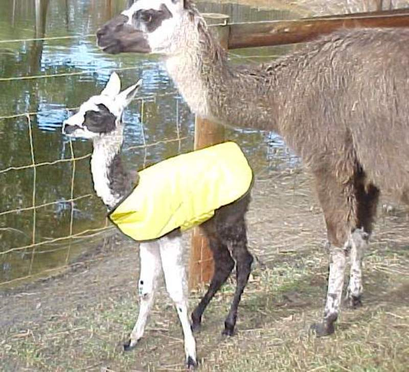 ready,for,night,cold  - The Birth of a Llama and a One Day Old Cria