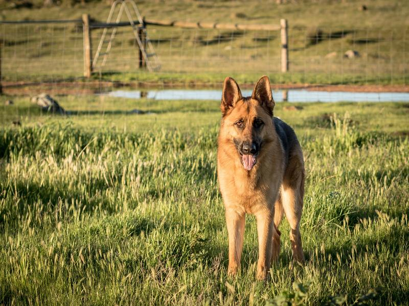 Behavioural Solutions For Severe Separation Anxiety In Dogs