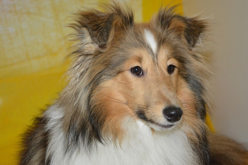Shetland sheepdog  - Quotes About Dogs