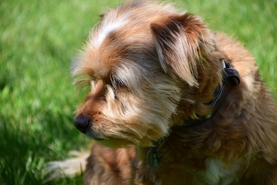 Small brown hairy dog