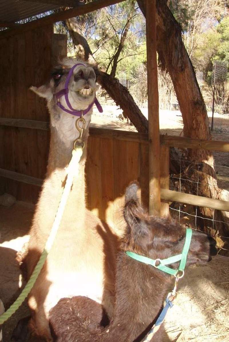 what,is,this,look  - How to Breed Llamas