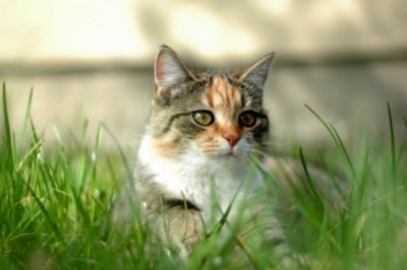 tiger cat  - When to Desex Your Cat