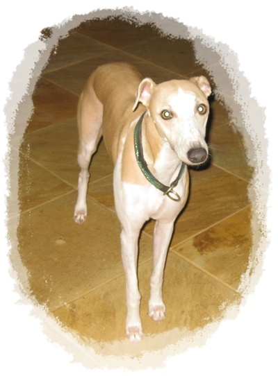 whippet,standing