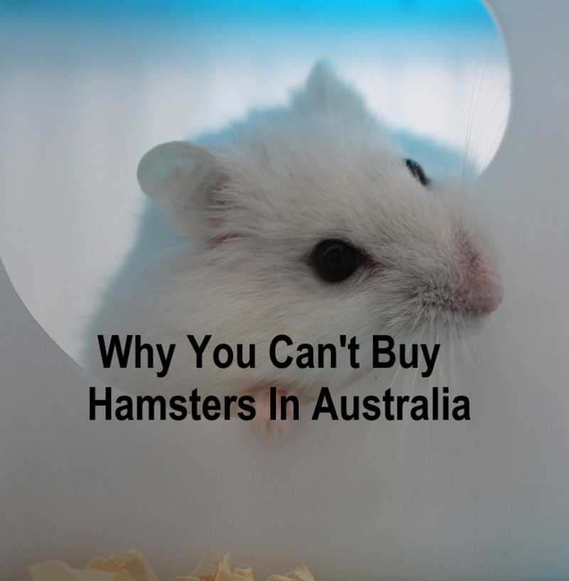 Why you can't buy hamsters in Australia  - Why You Can't Buy Hamsters In Australia