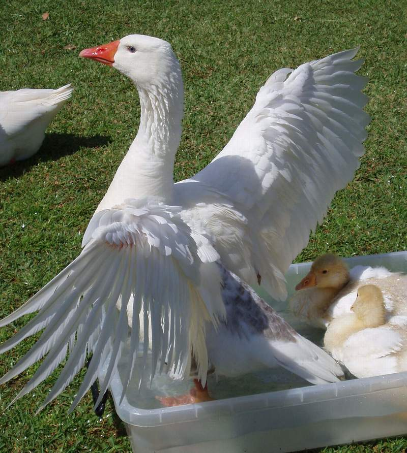 wings,spread,goose  - Raising, Interacting and Observations with Geese